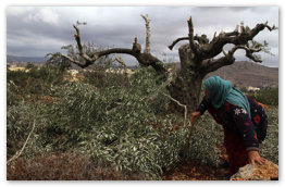 Woman in Qaryut inspects olive trees destroyed by Israeli settlers - Oct 19, 2013 (Click to go to the album at WAFA)