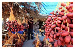 Harvesting Dates in Gaza - Sept 27, 2013 (Click to see the full album)