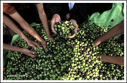 Olive Harvest in Palestine - 2013 (Click to see the full album)