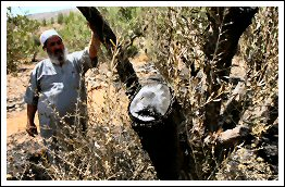 July 20, 2013 | Zionist settlers burn 400 olive trees in the West Bank of Palestine (Click to see the full album)
