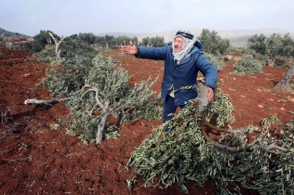 A Palestinian farmer reacts as he inspects his field which he says was damaged by Jewish settlers who cut down olive trees in the village of Qasra, south of the West Bank city of Nablus, on February 20, 2011. PHOTO/JAAFAR ASHTIYEH