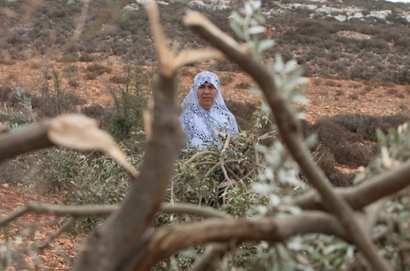 A Palestinian woman inspects olive trees