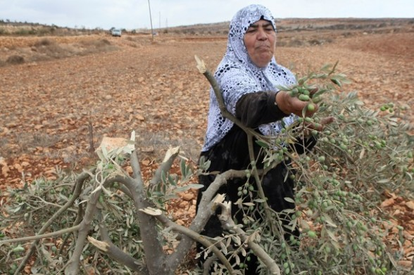A Palestinian woman inspects an olive tr