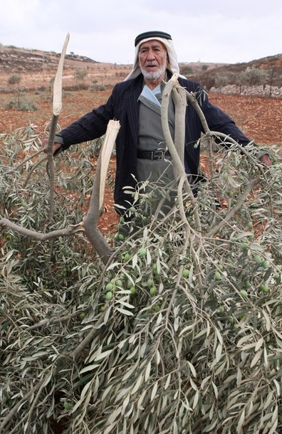A Palestinian man inspects an olive tree