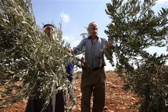 Palestinian  farmers hold up broken olive tree branches in the village of Qusra. in the northern West Bank, Saturday,  Sept. 10, 2011. According to Palestinian residents, some 50 olive trees were uprooted  by Jewish settlers from a nearby settlement Saturday. (AP Photo/Nasser Ishtayeh)