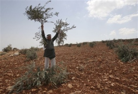A Palestinian  farmer holds up broken olive tree branches in the village of Qusra. in the northern West Bank, Saturday,  Sept. 10, 2011. According to Palestinian residents, some 50 olive trees were uprooted  by Jewish settlers from a nearby settlement Saturday. (AP Photo/Nasser Ishtayeh)