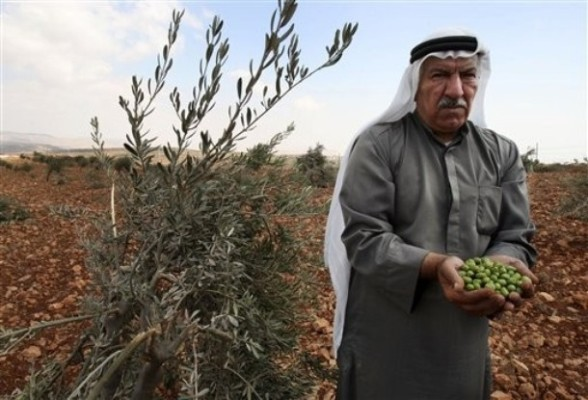 A Palestinian  farmer holds olives collected from broken olive tree branches in the village of Qusra. in the northern West Bank, Saturday,  Sept. 10, 2011. According to Palestinian residents, some 50 olive trees were uprooted  by Jewish settlers from a nearby settlement Saturday. (AP Photo/Nasser Ishtayeh)