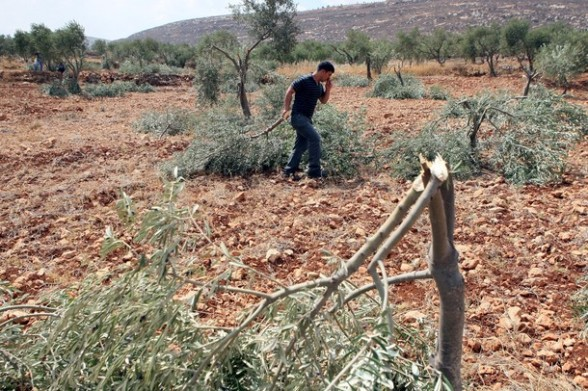 """A Palestinian farmer holds a broken branch of an olive tree in a grove in the West Bank village of Qusra, some 15 kilometres (nine miles) southeast of Nablus, after Palestinian farmers found some 400 olive trees uprooted or torn apart reportedly by hardline Jewish settlers on September 25, 2011. Hardline settlers have adopted what they call a """"price tag"""" policy under  which they attack Palestinians and their property in response to Israeli government measures against settlements.    AFP PHOTO/JAAFAR ASHTIYEH"""