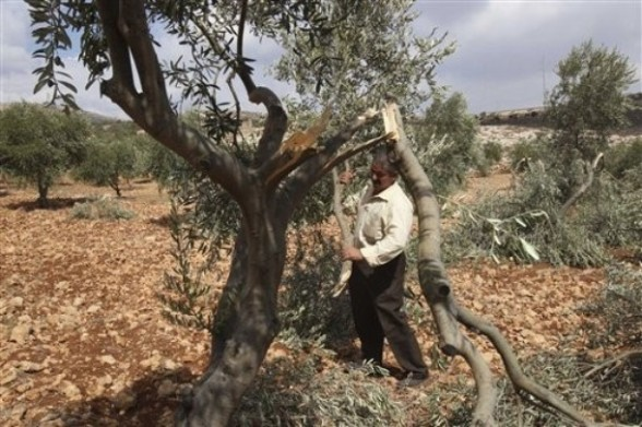 A Palestinian farmer holds a broken branch of an olive tree in the northern West Bank village of Qusra, Sunday, Sept. 25, 2011. Palestinian farmers found some 400 olive trees uprooted or torn apart in the West Bank village of Qusra on Sunday. They blamed nearby hardline Jewish settlers for the damage. (AP Photo/Nasser Ishtayeh)