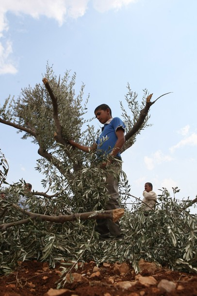 "A Palestinian boy holds a broken branch of an olive tree in a grove in the West Bank village of Qusra, some 15 kilometres (nine miles) southeast of Nablus, after Palestinian farmers found some 400 olive trees uprooted or torn apart reportedly by hardline Jewish settlers on September 25, 2011. Hardline settlers have adopted what they call a ""price tag"" policy under  which they attack Palestinians and their property in response to Israeli government measures against settlements.    AFP PHOTO/JAAFAR ASHTIYEH"