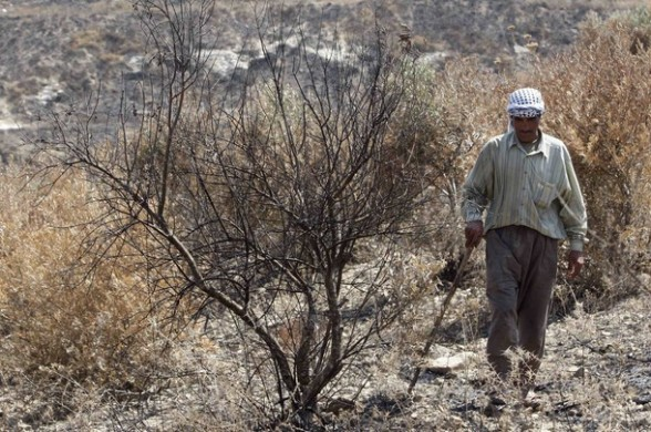 Mohammad Zeban, a Palestinian farmer, walks near an olive grove he says was burnt by Jewish settlers from the nearby settlement of Yitzhar, in his field in the West Bank village of Huwara near Nablus July 6, 2011. Scorched hillsides and charred olive groves near Nablus pinpoint the latest acts of arson by hardline Jewish settlers against Palestinians who say they are ever more the victims of such attacks in the West Bank. Picture taken July 6, 2011.