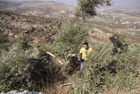 A Palestinian man walks between broken olive tree branches in West Bank village of Hawara, near Nablus,Thursday, Sept. 8, 2011. Three dozen trees have been uprooted in the village, part of a string of attacks which included the burning of two cars and Hebrew graffiti spraying on a mosque. Jewish settlers are suspected of carrying out the attacks in retaliation for recent Israeli government action against the settlers. (AP Photo/Nasser Ishtayeh)