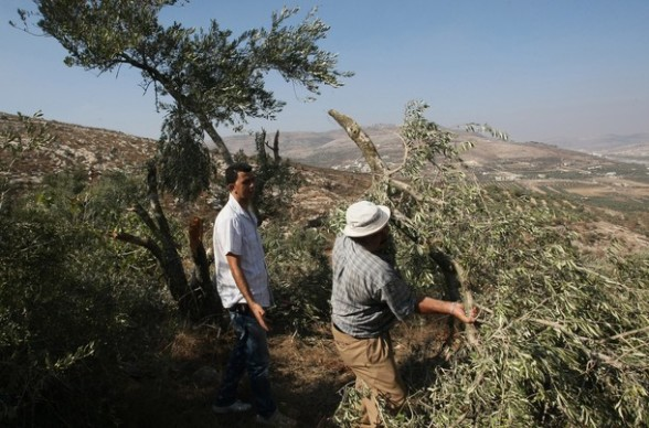 """A Palestinian farmer inspects his olive grove in the West Bank village of Hawara, south of the West Bank city of Nablus, on September 8, 2011, after dozens of olive trees were uprooted in the field between Huwwara and the hardline Yitzhar settlement. The attack, which locals blamed on Jewish settlers, came a day after the army said unidentified """"vandals"""" had attacked military vehicles on a base near Ramallah, slashing tyres and spraying them with the words """"price tag.""""  PHOTO/JAAFAR ASHTIYEH"""