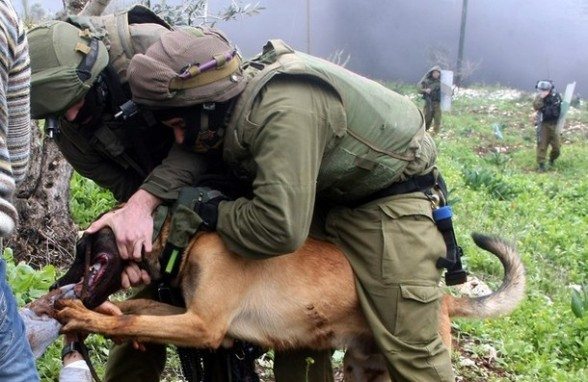 An Israeli army dog attacks a Palestinian protester during a demonstration against the expropriation of Palestinian land by Israel in the village of Kafr Qaddum, near Nablus in the occupied West Bank, on March 16, 2012. AFP PHOTO/JAAFAR ASHTIYEH