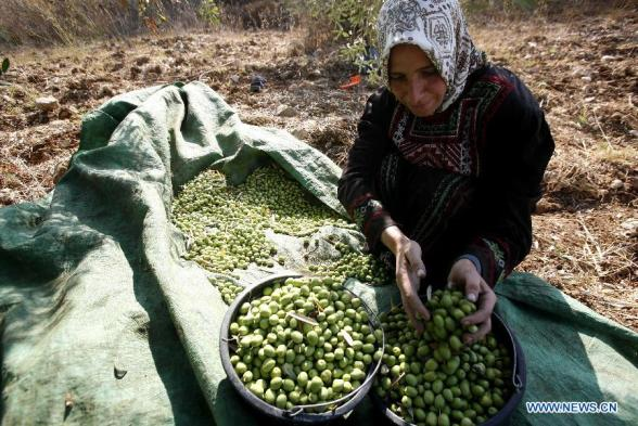 A Palestinian picks olives during the olive harvesting season in Kafr Qadomem near the West Bank city of Nablus, on Oct. 7, 2012. (Xinhua/Ayman Nobani)