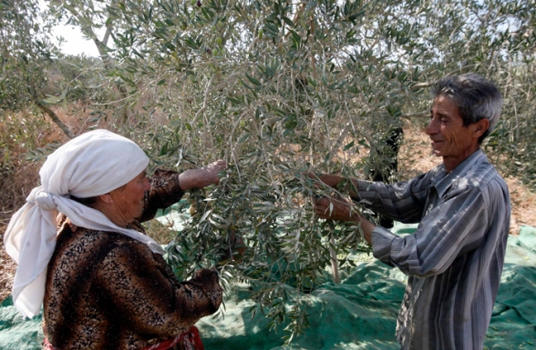Olive picking with Rayyan family attacked by settlers yesterday - Qalqilya district Oct 7, 2012 Photo by WAFA