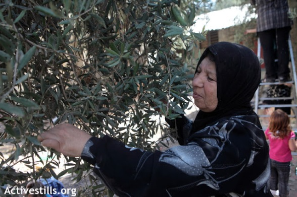 Olive harvest, Hebron / Cueillette des olives, Hebron, 11.10.2012 Photo by ActiveStills