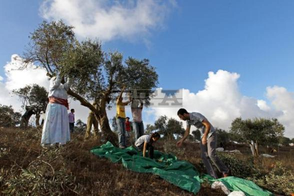 Palestinian farmers harvest olive trees on the outskirts of the West Bank village of Salem, near the Jewish settlement of Elone Moreh after they cross a security gate, near Nablus, 12 October 2012. Israeli soldiers open the gate from 7:00 am to 5:00 pm while Palestinian farmers pick their olive during the olive harvest to reduce the possibility of friction with Jewish settlers in the West Bank. EPA/ALAA BADARNEH