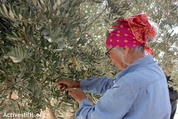 A Palestinian family pick olives during the olive harvest season in the West Bank village of Huwwara, near Nablus, October 12, 2012.