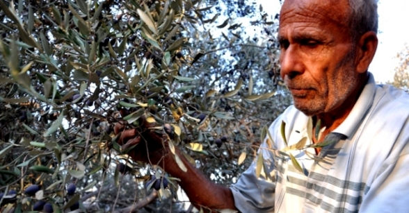Olive harvest in Gaza - Oct 16, 2012 Photo by Paltoday.ps