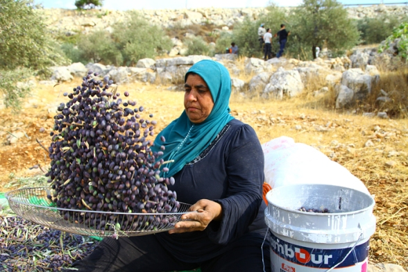 Olive harvest in Ni'lin - Oct 16, 2012 Photo WAFA
