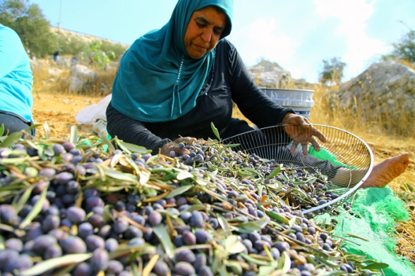 Olive Harvest in Ni'lin - Oct 16, 2012 Photos by WAFA