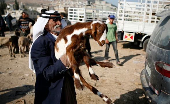 Oct 22, 2012 | Nablus - the sale of livestock movement in the Palestinian territories on the occasion of the approaching Eid al-Adha (Photo: Ayman Nubana/WAFA)