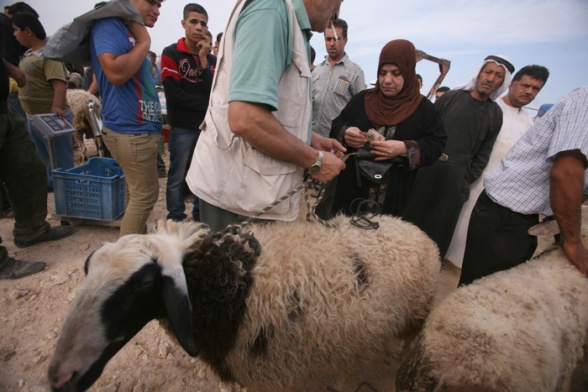 Oct 24, 2012 | Sale of livestock for upcoming Eid Al Adha (Feast of the Sacrifice) – Qabatiya, Jenin district - Photo by Seif Dahleh/WAFA