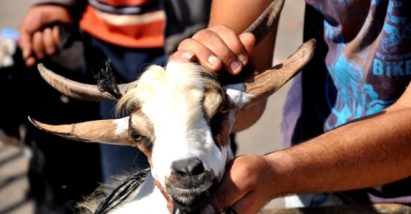 Some hours before start of Eid al Adha sacrificial animals are bought on Gaza Markets - Oct 25 2012 Photo by PalToday