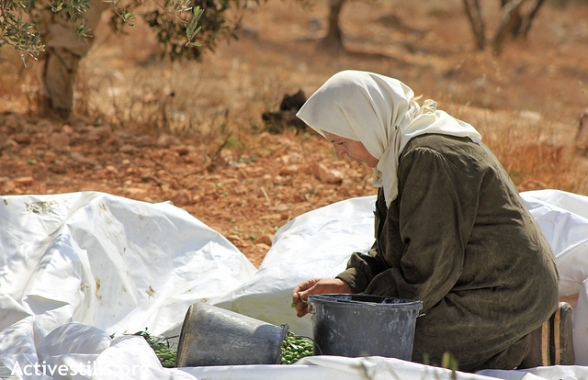 Olive Harvest, Kafr Qalil, West Bank 06.10.2012 - Photo by ActiveStills