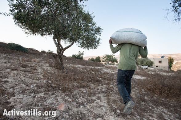 Olive harvest - Burin - West Bank - 9.10.2012 Photo by ActiveStills