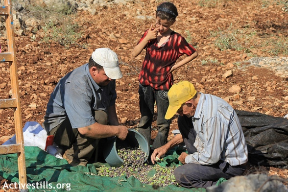 Olive Harvest, Zawiya, Salfit, West Bank 05.10.2012 - Photo by ActiveStills