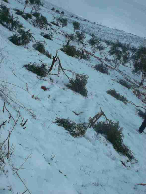 188 olive tress were broken by settlers in Qusra this morning - Photo by ISM Palestine