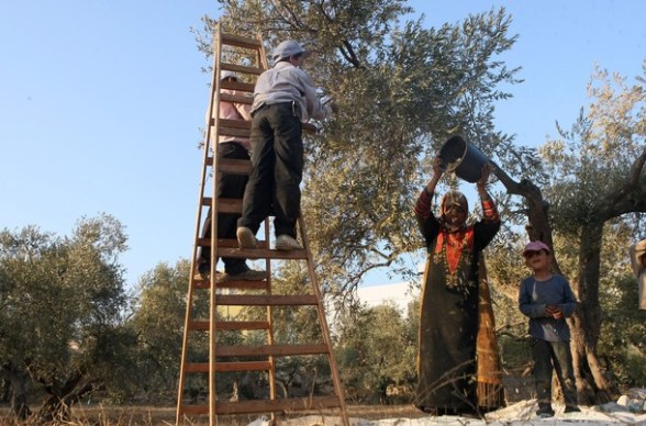 A Palestinian family pick olives during