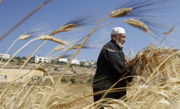 A Palestinian harvests wheat near Nablus