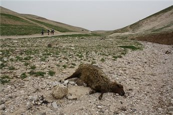 School children walk past the carcass of a sheep near the Bedouin village Wadi Abu Hindi near Abu Dis in the occupied West Bank on  Sunday, March 3, 2013. (MaanImages/George Hale)