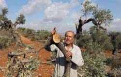 Israeli settlers uproot trees from Palestinian farms.