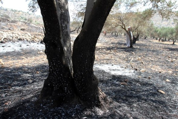 July 20 2013 - Settlers burn 400 olive trees in the village Jaba Photo by Ahmed Mazhar - WAFA