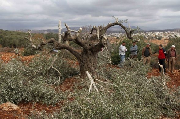 PHOTOS | Citizens inspect dozens of olive trees  destroyed by settlers in the village of Qaryut. Photos: Ayman Nubana - WAFA