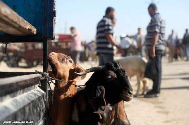 Gaza prepares for Eid ul-Adha buying sacrificial animals - Photo by palinfo.com