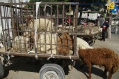 Gaza prepares for Eid ul-Adha buying sacrificial animals - Photo by Qudsnet