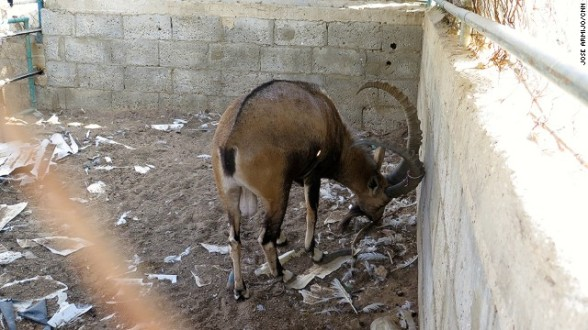 A gazelle wanders in its cage. Its hooves have grown far too long since it is not being cared for.