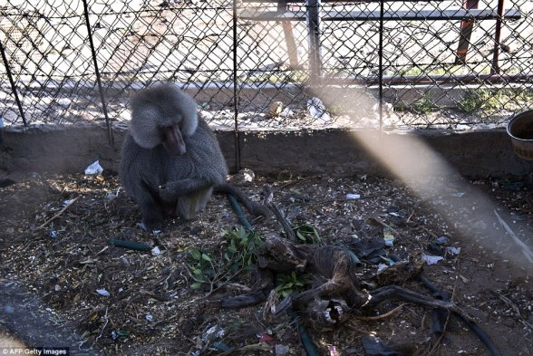 Grim: A Hamadryas baboon stares at the carcass of another baboon inside their cage. The stench in the zoo is overpowering